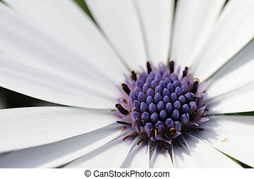 wild flower - closeup for wild daisy