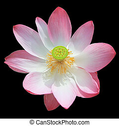 Pink lotus isolated on black background
