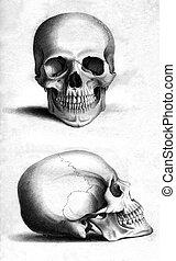 Ludzki, czaszka