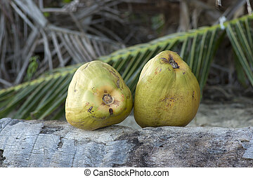 Two fresh green coconuts - Two fresh whole green coconuts...