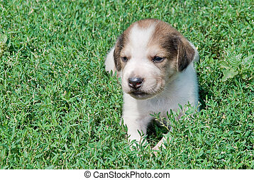 puppy in the grass outdoors - Russian piebald hound puppy in...