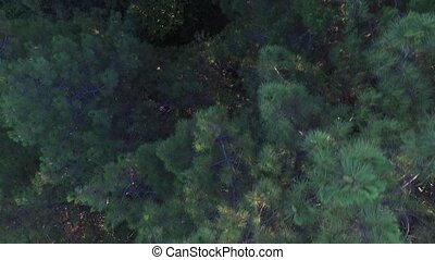 Flying over pine tree - Top view zenithal view over pine...