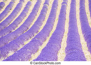 Lavender field - Detail of a beautiful lavender filed in...