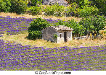 Lavender Provence - Old barn and rows of a beautiful purple...
