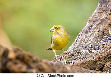 greenfinch - male greenfinch with seeds on tree trunk...