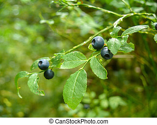 Bush of a ripe wild bilberry, blueberry in the summer closeup.