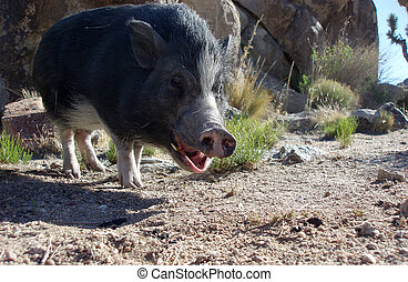 Pig Yawning - Pot bellied Pig yawning in the Mohave Desert
