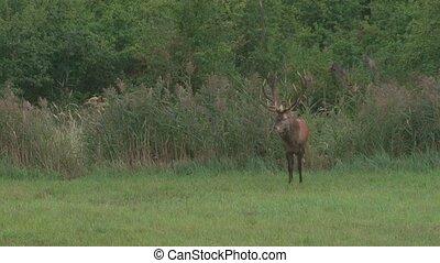 red deer in rutting season