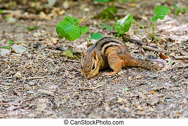 Close-up of chipmunk foraging on ground. - Detail of...