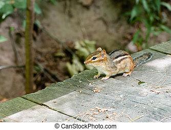 Alert chipmunk on wood deck in shadow - Alert chipmunk...