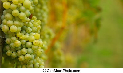 White grapes bunch. - Bunches of white wine grapes hang from...