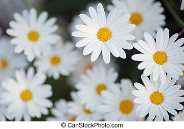 beautiful marguerite flowers - white daisy background
