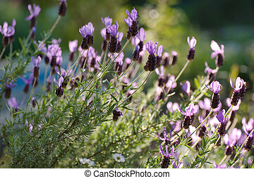 clump of spanish lavender in the sunshine