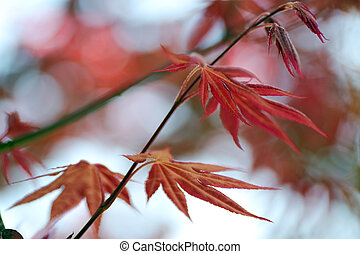 japanes maple leaf with shallow depth of focus - red...