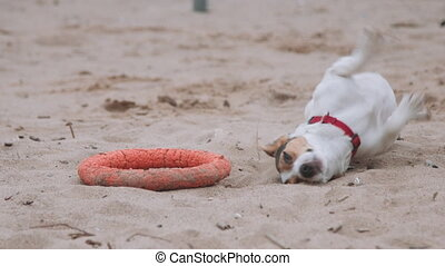 Dog plays with a toy on the beach - Small dog breeds Jack...