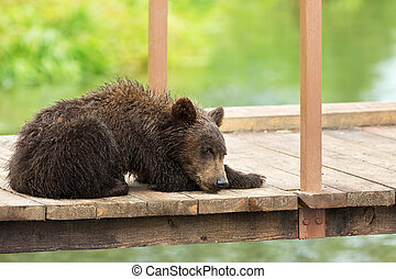 Small brown bear on bridge fence to account for fish. Kurile...