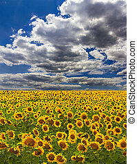 sunflowers in the field - sunflower field over cloudy blue...