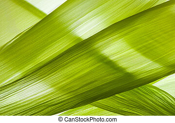 Backlit Corn Husk - closeup of transparent backlit corn husk