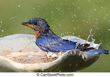 Eastern Bluebird Sialia sialis in a bird bath