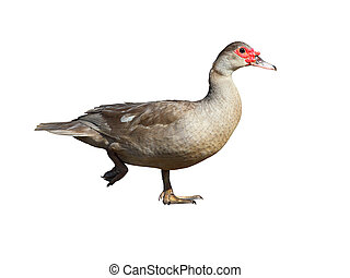 Muscovy Duck isolated on white background - Muscovy Duck...