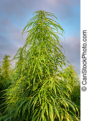 Marijuana on field - Leaves of marijuana plant on the field
