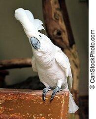 Cute white Cacatua Alba standing
