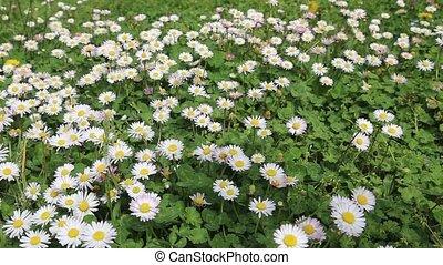 Chamomile green white field
