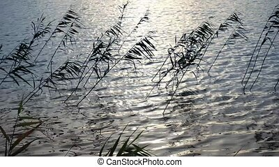Reeds growing at the lake