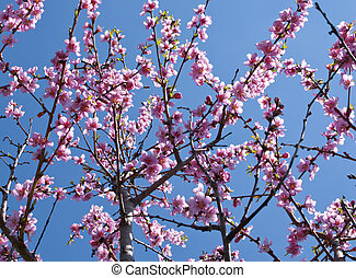 Peach trees in bloom, spring season background image.