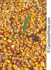 Corn plant - Small plant of corn growing in corn seed