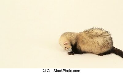 Ferret on a white background - Ferret pet on a white...