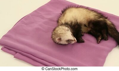 Domestic ferret trying to sleep in their litter - sleeping...