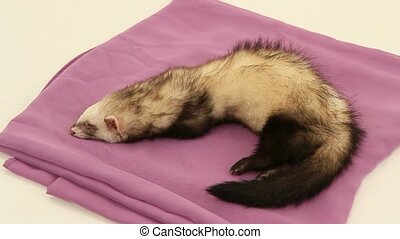 Domestic ferret awake - sleeping ferret on a white...