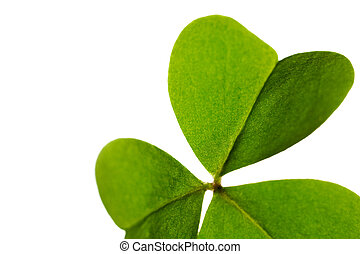 Clover leaf isolated on white background.