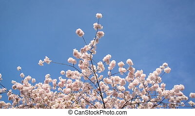Cherry Blossoms and Blue Sky - Cherry blossoms rustling in...
