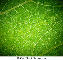 Cow parsnip green leaf texture