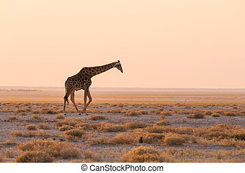 Gehen, busch,  Giraffe, Wüste, Pfanne, Sonnenuntergang