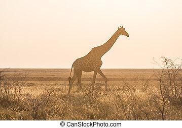 profil, Gehen, Wüste, landschaftlich,  national, bestimmungsort, Licht, Tierwelt,  namibia,  Park, busch,  Giraffe, Pfanne,  safari, afrikas, Ansicht, haupt, weich, Reise,  ETOSHA, Sonnenuntergang
