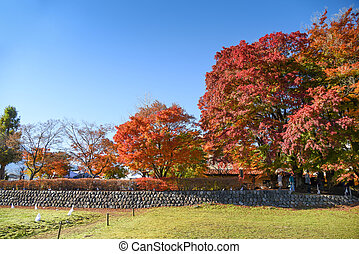 Momiji tunnel near Kawaguchiko lake - colorful maple tree in...