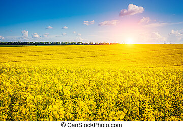 Yellow rapes field - Yellow rapes flowers and blue sky with...