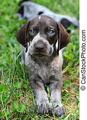 German Short Haired Pointer Puppy - German Short Haired...