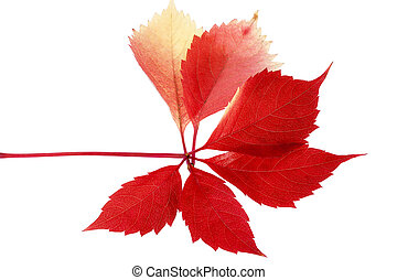 Leaf of parthenocissus in autumnal colors on white...