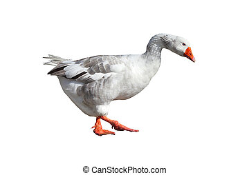 Big Grey goose isolated on a white background