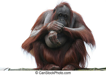 Orangutang on white isolation