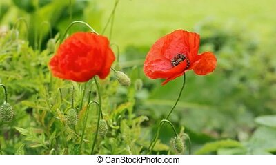 Two red poppies isolated on gray background. - Two red...