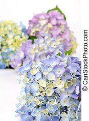 Blue and purple hydrangea - Close-up of bright blue and...