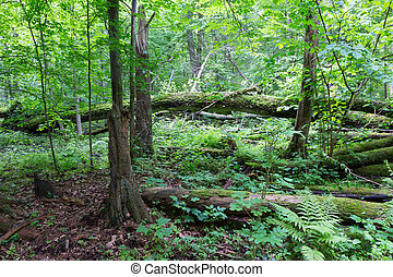 Old oak tree broken lying in spring forest - Old oak tree...