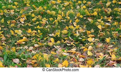 yellow leaf lying on green grass in autumn - yellow leaf...