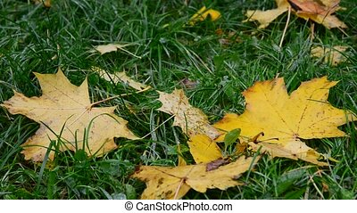 Wet yellow maple leaf lying on green grass in autumn