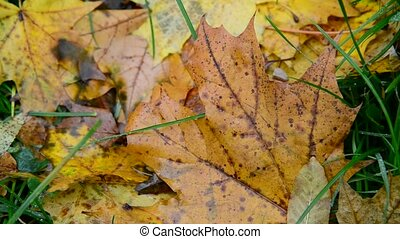 Wet yellow maple leaf lying on green grass in autumn -...